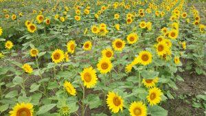ひまわり 開花